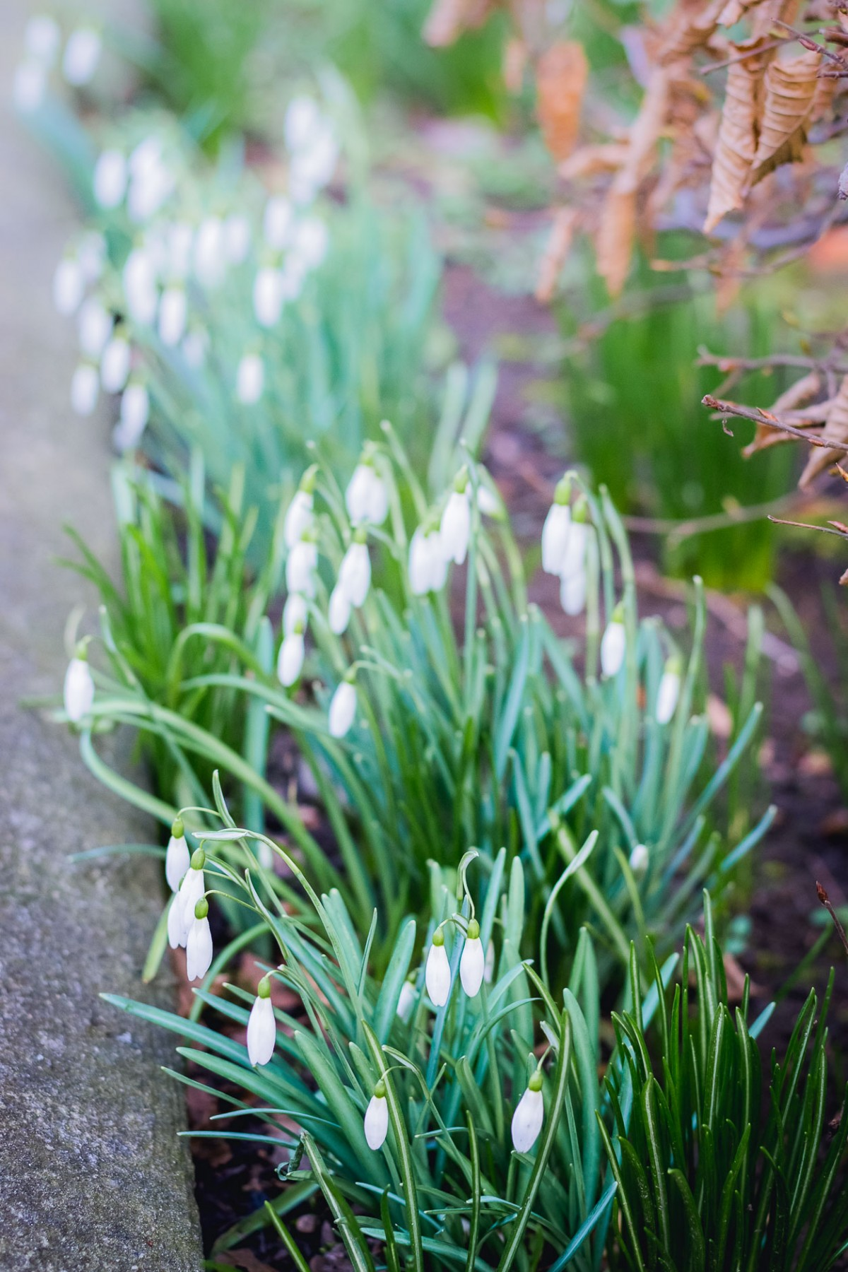 Snowdrops in Göttingen, Germany